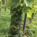 De eerste druiven